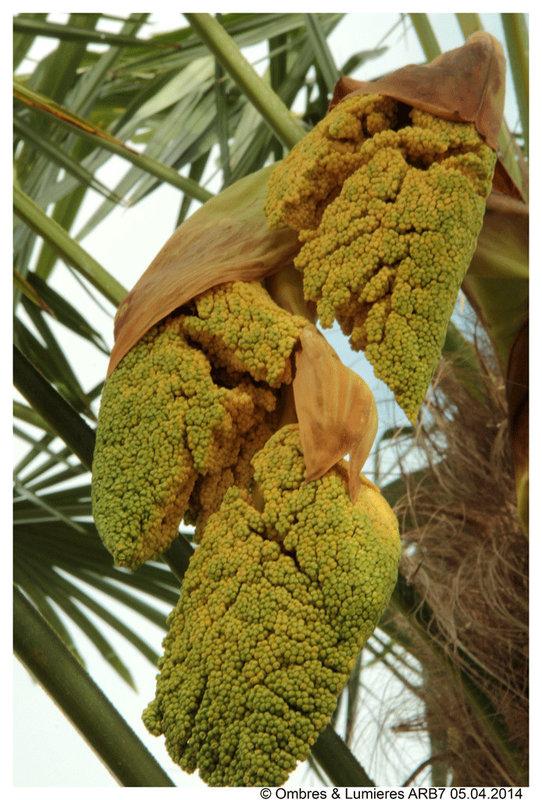 Palmier Griffons