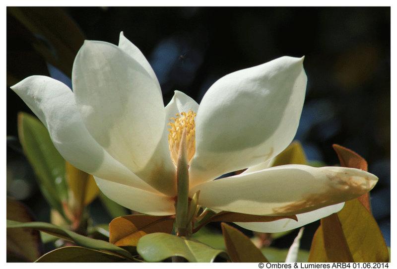 Magnolia - Griffons